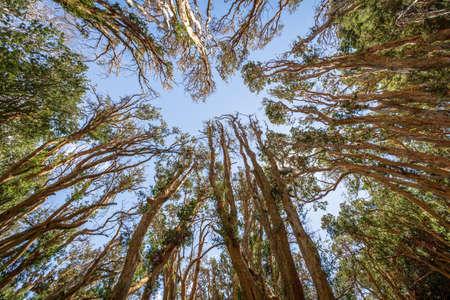 Arrayanes Trees (Chilean Myrtle) with orange trunk at Arrayanes National Park - Villa La Angostura, Patagonia, Argentina Archivio Fotografico