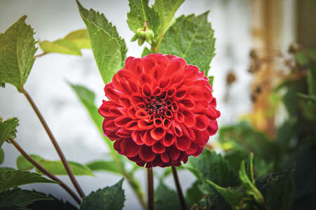 Red Kens Choice Dahlia Flower