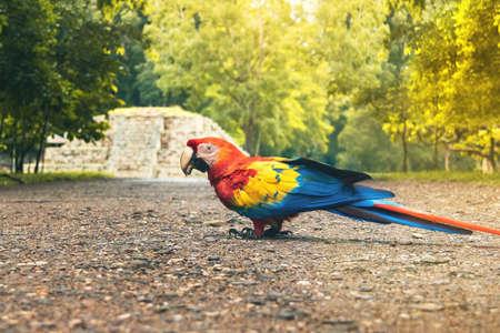 Scarlet Macaw at Mayan Ruins Archaeological site - Copan, Honduras