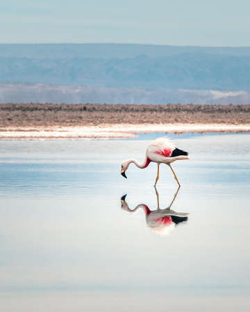 Flamingo reflection on Chaxa Salar, Atacama Desert - Chile 写真素材