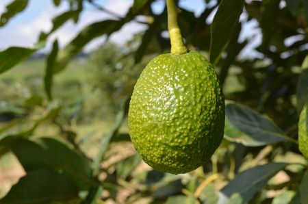 hass: Aguacate colombiano