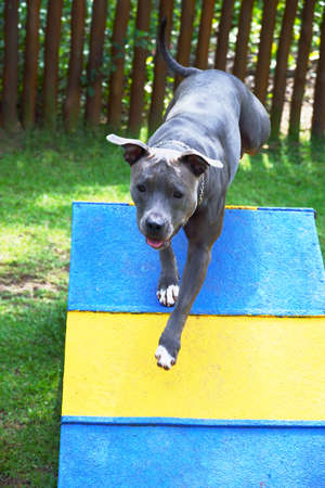 Pitbull dog walking up the wooden ramp. Pitbull doing agility exercise in the park.