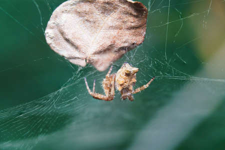 Macro close-up of a spider in the garden on a spiderweb with a leaf behind. Araneae is an order of arthropods of the class Arachnida. Species known by the common names of spiders or arachnids.