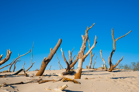 Dead trees on a sand