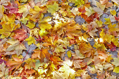 Colorful autumn leafs covering a pavement Stock fotó