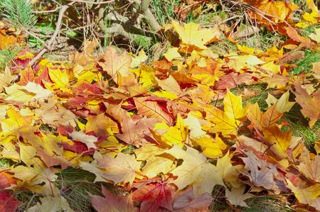 Golden autumn leafs covering grass