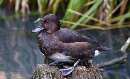 The ferruginous duck
