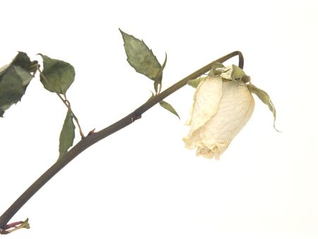 Whithered white rose on white background