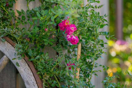 Climbing roses in the background