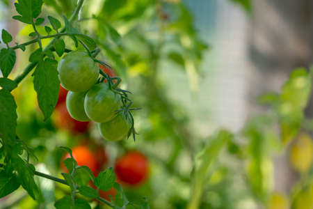 Ripe tomatoes in the garden Stock fotó