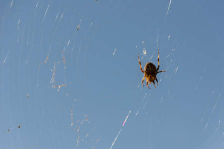 close up, macro shot of an Crowned Orb Weaver (aka Cross spider) sitting on its web, waiting for prey to eat.