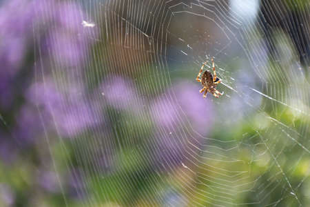 Croos spider in the garden