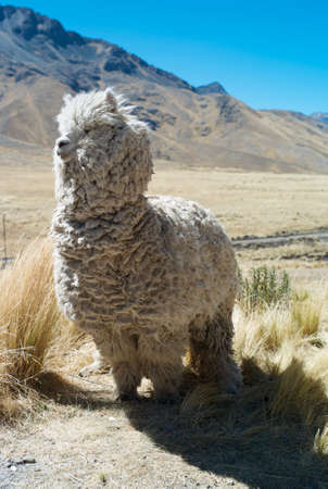 Wild Llama on the Altiplano of Peru 免版税图像