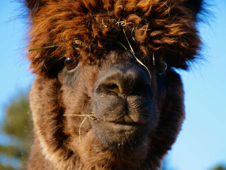 The Head of a Funny Cute Brown Alpaca Stock Photo