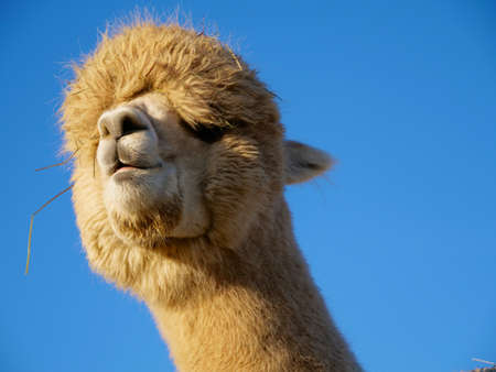Cute Portrait of a Funny White Alpaca with Blue Sky as the Background Stock Photo