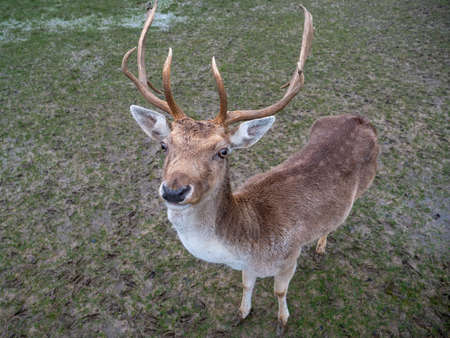 Close-Up of a Cute Young Male Fallow Dear Buck in Winter Stock Photo