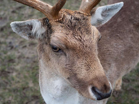 Close-Up Portrait of a  Male Fallow Dear Stag
