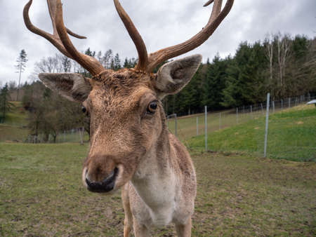 A Fallow Deer Buck with Antlers in the Enclosure at a Farm or Breeder Stock Photo