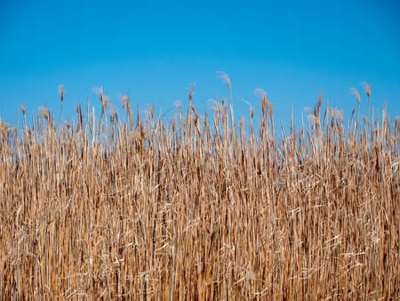 Isolated Golden Reeds on a Blue Sky - A Background or Texture