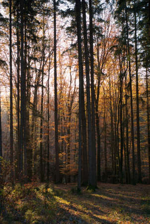 Fall in the Forest with Trees, Orange Leaves and Beautiful Light Rays