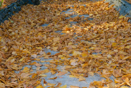 Fallen Golden Leaves on a Cobblestone Path - An Autumn Background Stock Photo