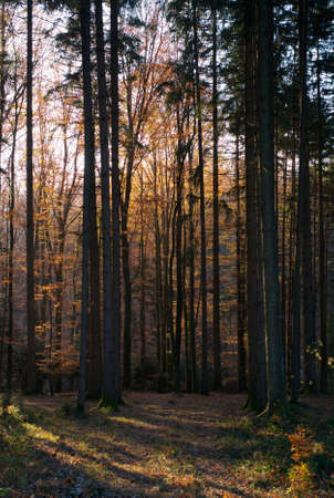 A Beautiful Autumn Scene in the Forest with Trees, Orange Leaves and Light Rays Stock Photo