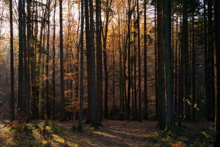Trees, Orange, Golden and Green Leaves and Beautiful Golden Light - An Autumn Scene in the Forest