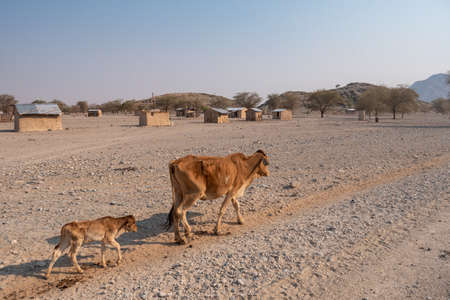 Very Skinny, Emaciated Cow Walking on Dry Land by a Village in Kaokoveldt, Namibia, Africa - A Concept for Drought and Hunger