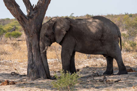 Elephant Leaning with Head Against Trunk of a Tree, Sleeping in Botswana