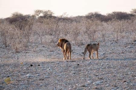 Lew i lwica, para samców i samic lwów, opuszczające się po zalotach, Park Narodowy Etosha, Namibia