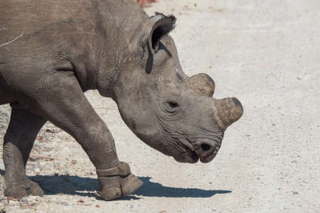 Dehorned Black or Hook-Lipped Rhino in Etosha National Park, Namibia as a Measure Against Poaching