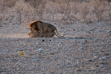 Lion and Lioness, MAle and Femal Mating or Breeding in Etosha National Park, Namibia, Africa Stok Fotoğraf