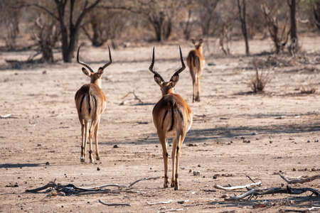 Three Impala Antelopes from Behind, Two Male Bucks, One Female Cow, in Dry Savanna