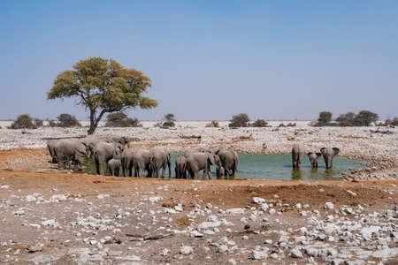 Elephant Breeding Heard at Waterhole in Etosha National Park, Namibia, Africa