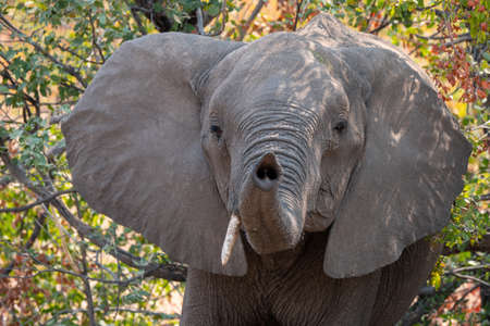 African Elephant, with Raised Trunk, Cute, Funny and Playful, Moremi Game Reserve, Okavango Delta, Botswana