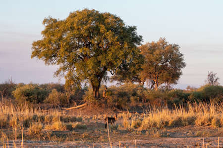 African Landscape with Waterbuck Antelope, Grass and Trees on the Bank of Okavango River in Golden Evening Light