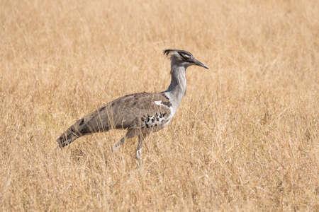 Kori Bustard, Large Bird Standing in the Grass Plain of Chobe National Park, Botswana, Africa Zdjęcie Seryjne