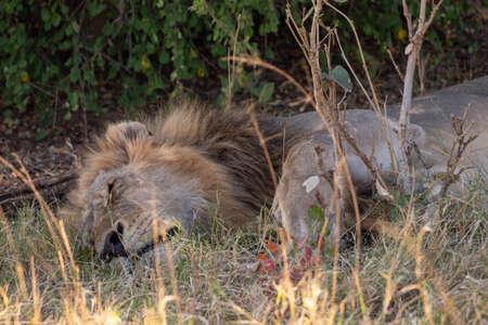 Impressive Male Lion Sleeping on the Grass in Chobe National Park, Botswana, Africa