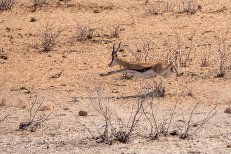 Springbok Running and Leaping Midair, Sprinting Away in Etosha NAtional Park, Namibia