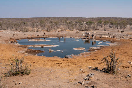 Halali Waterhole with Impalas, Kudus and Zebra Drinking, Dry Savanna Landscape Etosha National Park, Namibia Zdjęcie Seryjne