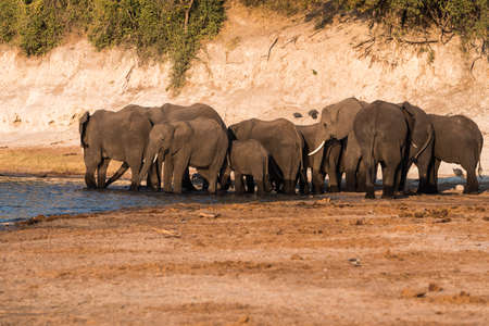 Large Elephant Breeding Herd Drinking at the Bank of Chobe River in the Evening, Chobe National Park, Botswana