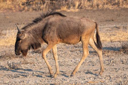 Single Wildebeest Walking in Dry Land in Makgadikgad Pan, Botswana, Africa