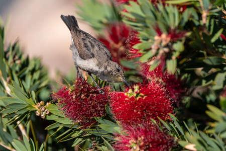 Female White-bellied Sunbird Feeding, Drinking Nectar, also called White-breasted, Cinnyris talatala