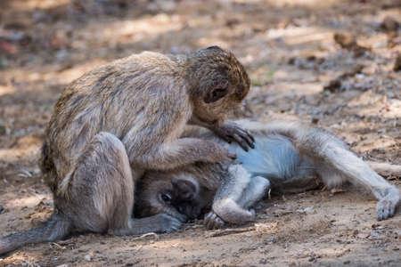 Two Vervet Monkey Delousing and Grooming their Fur in Bwabwata National Park, Mahango Core Area, Namibia Zdjęcie Seryjne