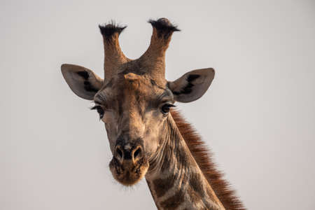Close-Up Head of a Male Giraffe, Isolated in Moremi Game Reserve, Botswana
