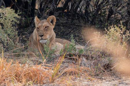 Female Lion - Lioness Resting in the Shade of a Bush in Moremi Game Reserve, Okavango Delta, Botswana