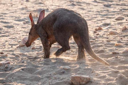 Aardvark or Anteater from Behind, Walking Away in the Dry Kalahari, Namibia