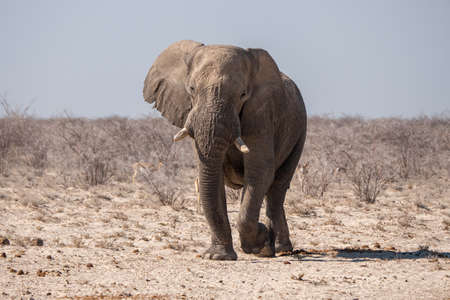 White African Elephant in Etosha National Park, Namibia, in a Dry, Arid Landscape with Bushes