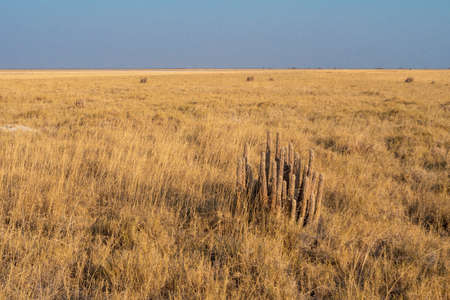 Dry Yellow Gordons Hoodia - Hoodia Gordonii - in Dry Grass Plain Savanna of the Makgadikgadi Salt Pan, Botswana, Africa