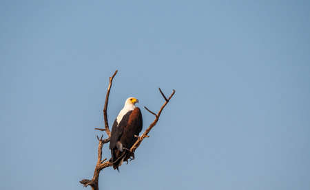 African Fish Eagle Sitting on Bare, Leafless, Dry Branch in the Kalahari, Namibia